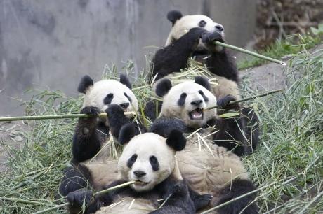 01 Pandas eating bamboo