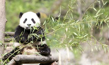 02 Panda sitting in tree