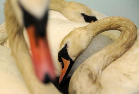 swans train acident