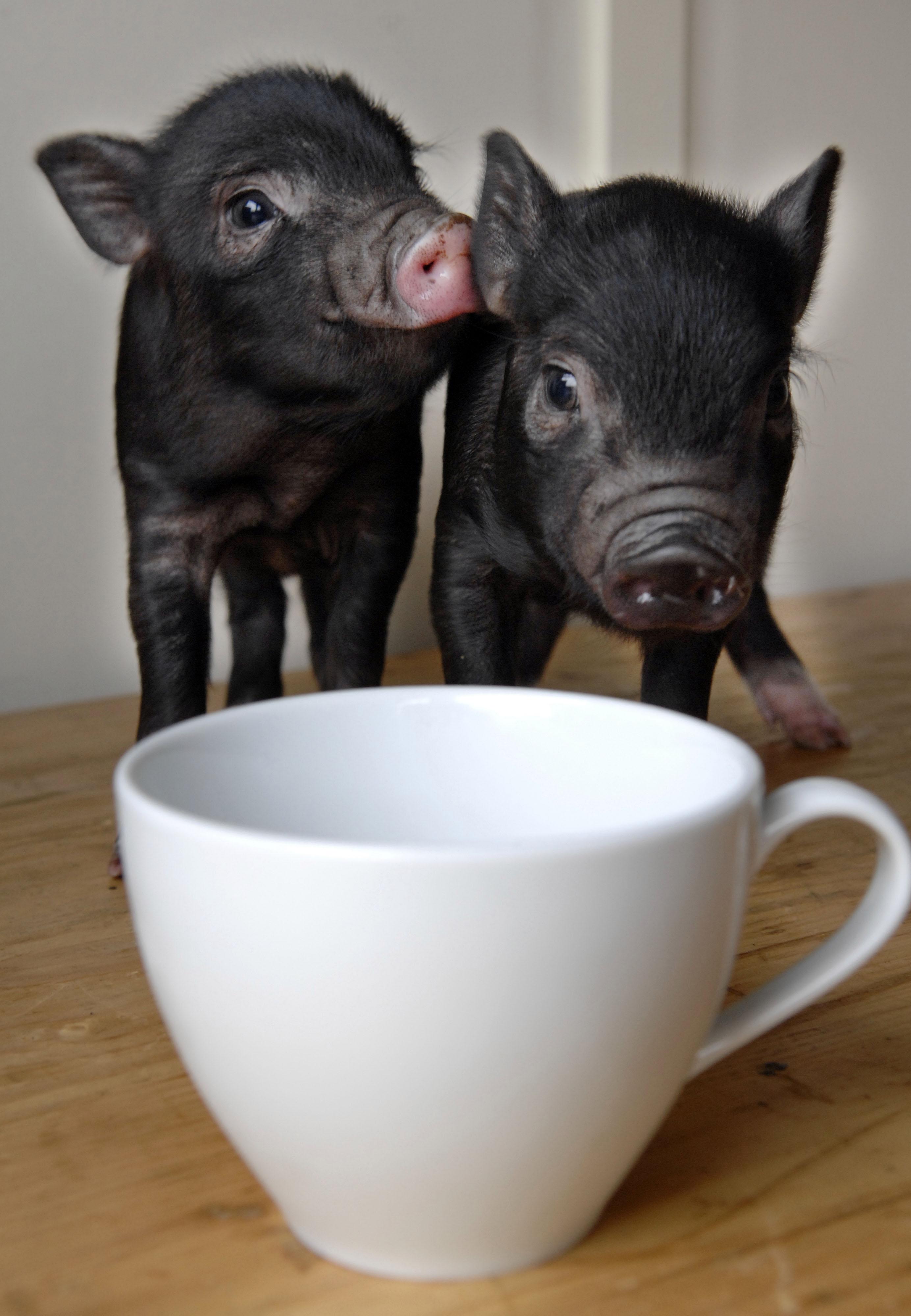 teacup piglets pictures. Black Bedroom Furniture Sets. Home Design Ideas